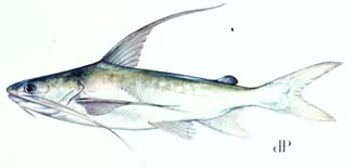 Catfish Sting | Fishing Florida Includes Backwater And Offshore Fishing Saltwater